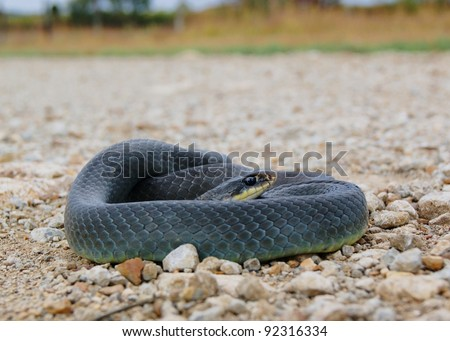 A nonvenomous constrictor coiled at the edge of a road - Eastern Yellow-bellied Racer, Coluber constrictor flaviventris - stock photo