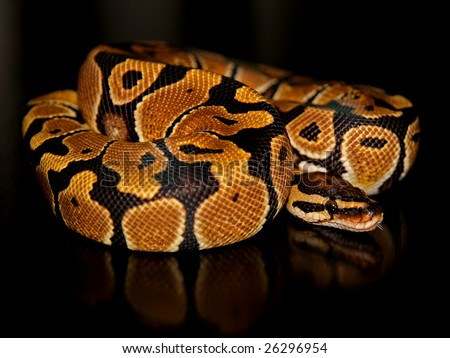 A Normal (Wild Type) Ball Python (Python regius) - stock photo