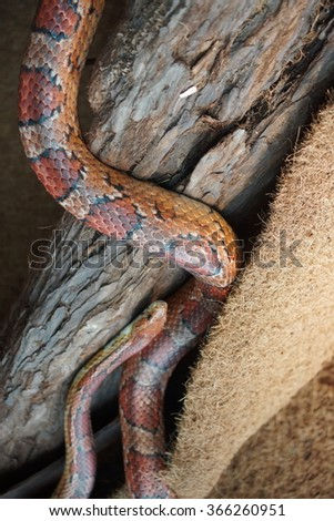 A North American Corn Snake - Pantherophis guttatus