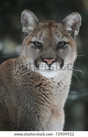 A North American Cougar (Puma concolor) headshot. - stock photo