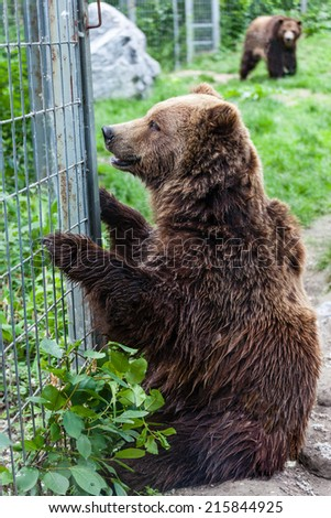 A North American grizzly bear (Ursus arctos) sits in captivity looking through a fence. - stock photo