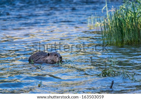 A North American mountain beaver eats grass in the blackfoot river in Montana.