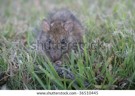 A North American Roof Rat (Rattus rattus) discovered eating dog feces in the grass near a house.  This is an excellent illustration of why rats are dangerous to humans, and why they spread disease. - stock photo