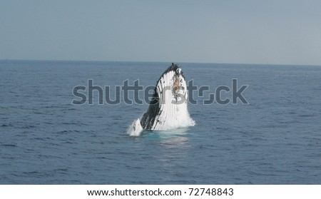 "A North Pacific Humpback Whale ""Megaptera novaeangliae"" breeches or jumps out of the water off the shores of Maui Hawaii - stock photo"