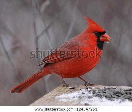 A Northern Cardinal (Cardinalis cardinalis) feeding on seeds at a bird feeder, in winter.  Shot in Southern Ontario, Canada. - stock photo