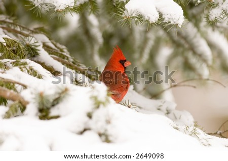 A northern cardinal sits in an evergreen tree following a snowstorm in Illinois