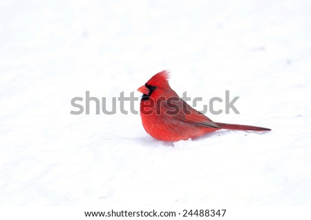 A northern cardinal sits in snow following a heavy winter storm - stock photo