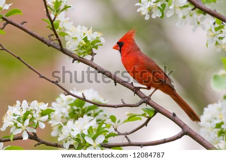 A northern cardinal sits perched in a tree on a spring day - stock photo