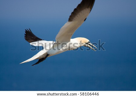 A Northern Gannet fishing off the coast of Bonaventure Island, Quebec, Canada