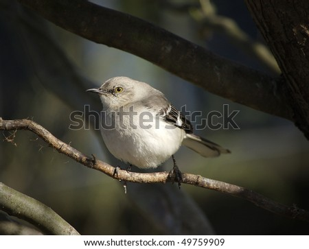 A Northern Mockingbird keeps watch from his perch in a tree - stock photo