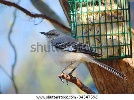 A Northern Mockingbird near a suet feeder