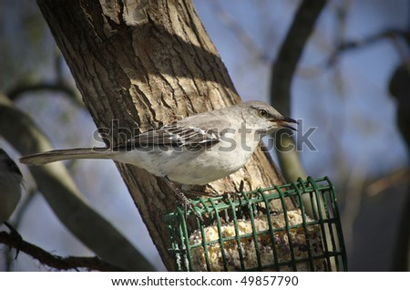 A Northern Mockingbird with his beak open and tongue visible - stock photo