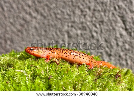 A Northern Red Salamander crawling in green moss