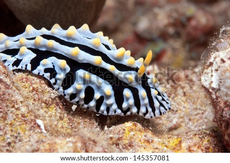 A nudibranch  is grazing on the algae covered reef off of Big Island, Hawaii..  An unusual individual in which the yellow  pustules on the mantle are clearly grouped into three longitudinal rows.
