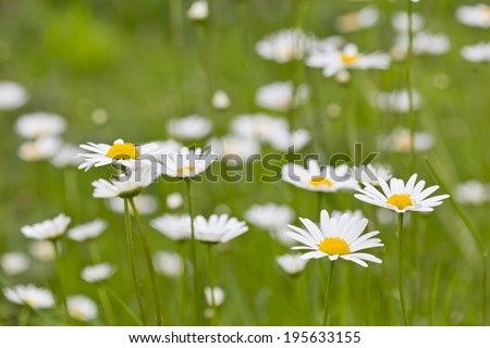 A number of daisies in bloom amongst bright green grass, selected flowers only in focus - stock photo