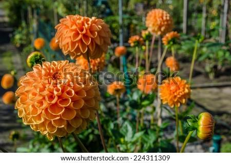 A number of orange Dahlias - stock photo