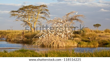 A number of white storks fill the branches of an Acacia tree next to a watering hole. Serengeti National Park, Tanznai - stock photo