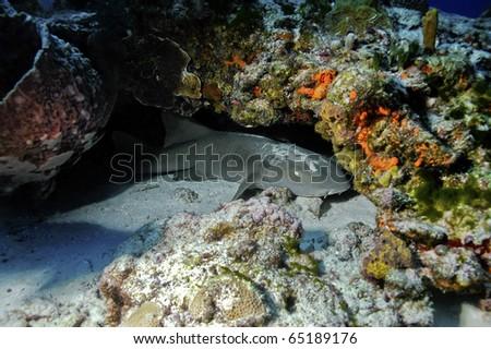 A nurse shark hiding underneath a coral head - stock photo