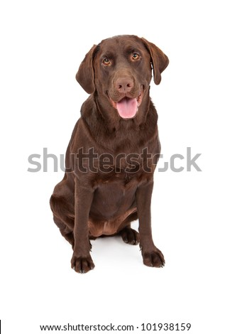 A one year old chocolate color Labrador Retriever dog sitting down against a white background - stock photo