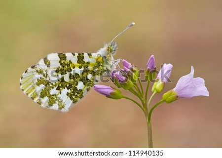 A orange tip butterfly on lady�´s smock or cuckoo flower - anthocharis cardamines - stock photo