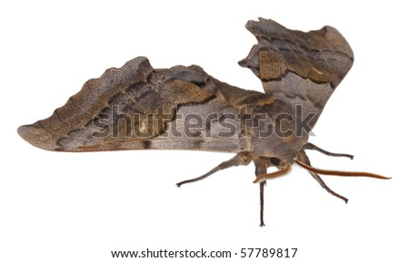 A Pachysphinx moth isolated on white background - front view - stock photo