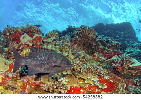 A Pacific chub swims along a colorful reef