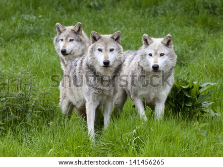 A pack of three European Grey Wolves playing in grass - stock photo