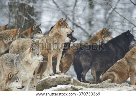 a pack of wolves in snow - stock photo
