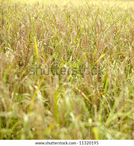 A paddy field ready for harvest. - stock photo