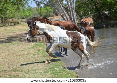 A paint Horse leaping or jumping out of the water - stock photo