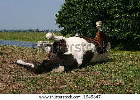 A painted horse rolling in a green field on a sunny day - stock photo