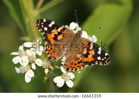 A Painted Lady Butterfly. - stock photo