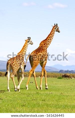 A pair giraffe at lake Naivasha, Kenya - stock photo