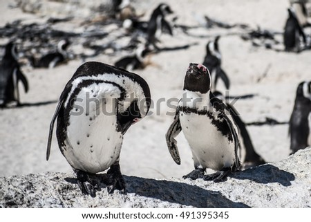 A pair of African Penguin. Photo taken in Boulder's Beach, Capetown, South Africa.
