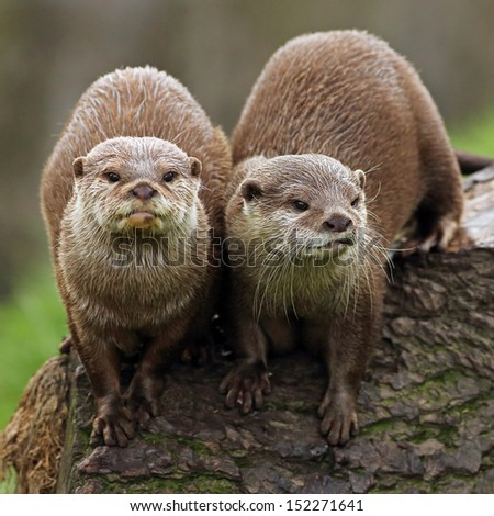 A pair of Asian short clawed Otters - stock photo