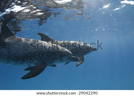 A pair of Atlantic Spotted Dolphin (Stenella frontalis) swim under the calm surface while the sun streaks through the water - stock photo
