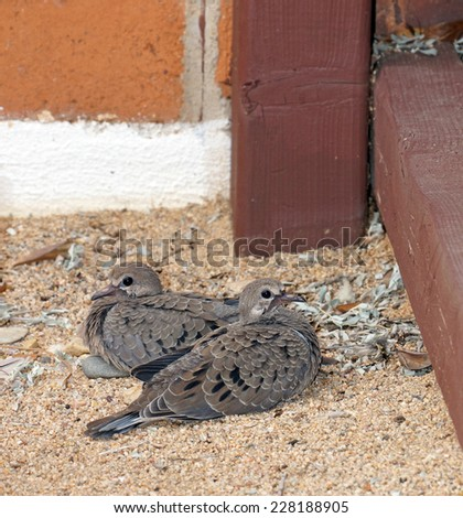 A pair of baby mourning doves sit in the corner in springtime - stock photo