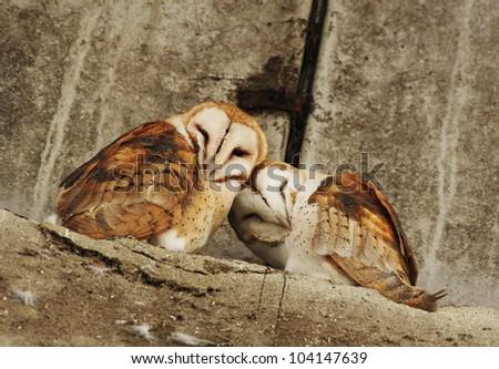 a pair of barn owl - stock photo