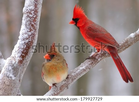 A pair of beautiful Northern Cardinals (Cardinalis cardinalis) in winter.