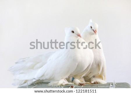 A pair of beautiful white dove - stock photo