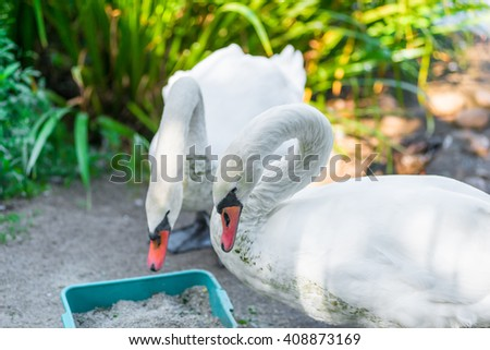 a pair of beautiful white swans on the shore - stock photo
