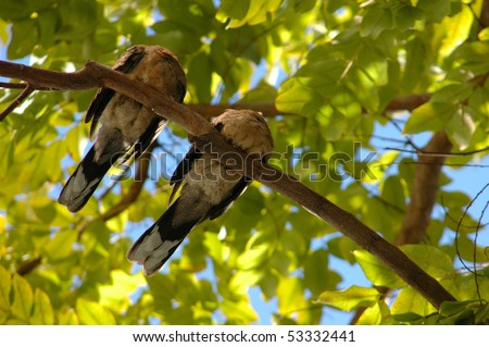A pair of birds sleeping in a tree - stock photo
