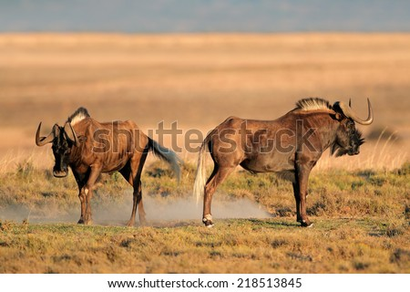 A pair of black wildebeest (Connochaetes gnou), South Africa - stock photo