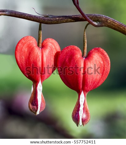A pair of bleeding heart flowers bloom in the spring perennial garden.