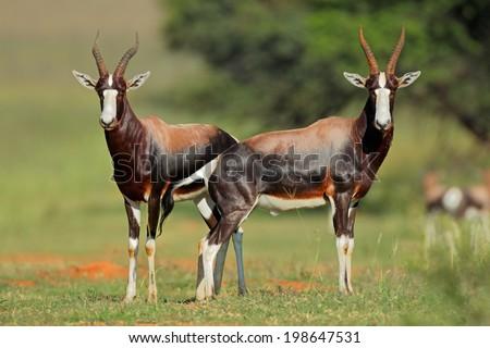 A pair of blesbok antelopes (Damaliscus pygargus), South Africa  - stock photo