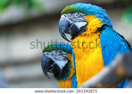 A pair of blue-and-yellow macaws (ara ararauna) perched in the jungle. - stock photo