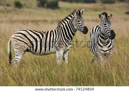 A pair of Burchell's Zebras standing on alert in grassland - stock photo