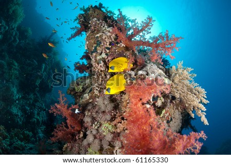 A pair of Butterfly fish amgost brightly coloured soft corals