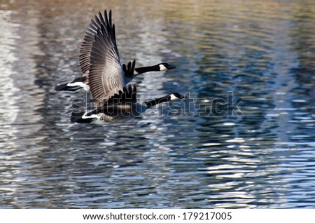 A Pair of Canada Geese Flying Over Water - stock photo