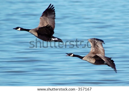 A pair of Canada geese in flight - stock photo